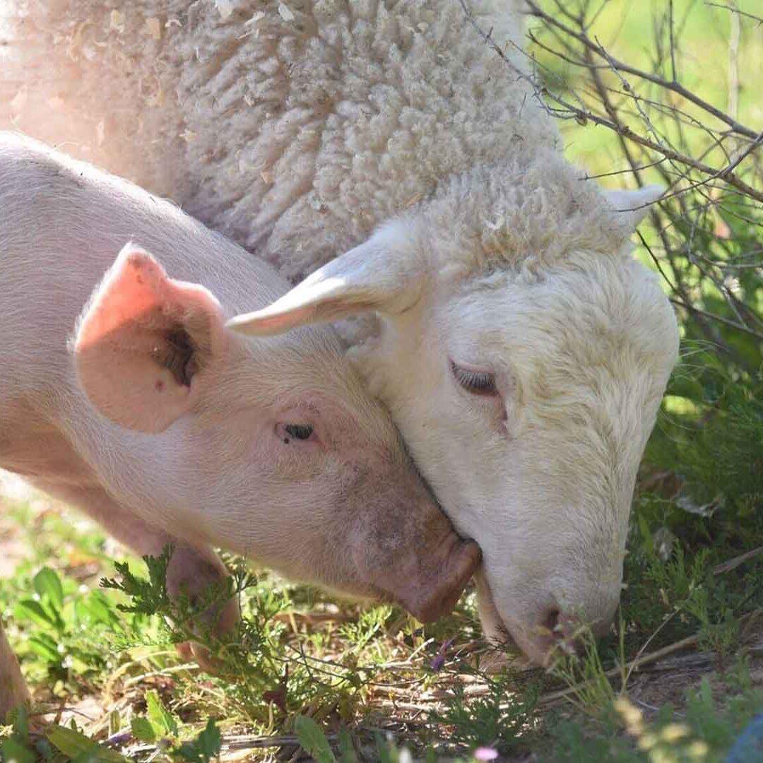 pig-and-sheep-eating